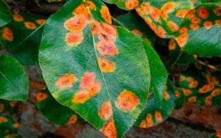 Некоторые болезни растений в саду